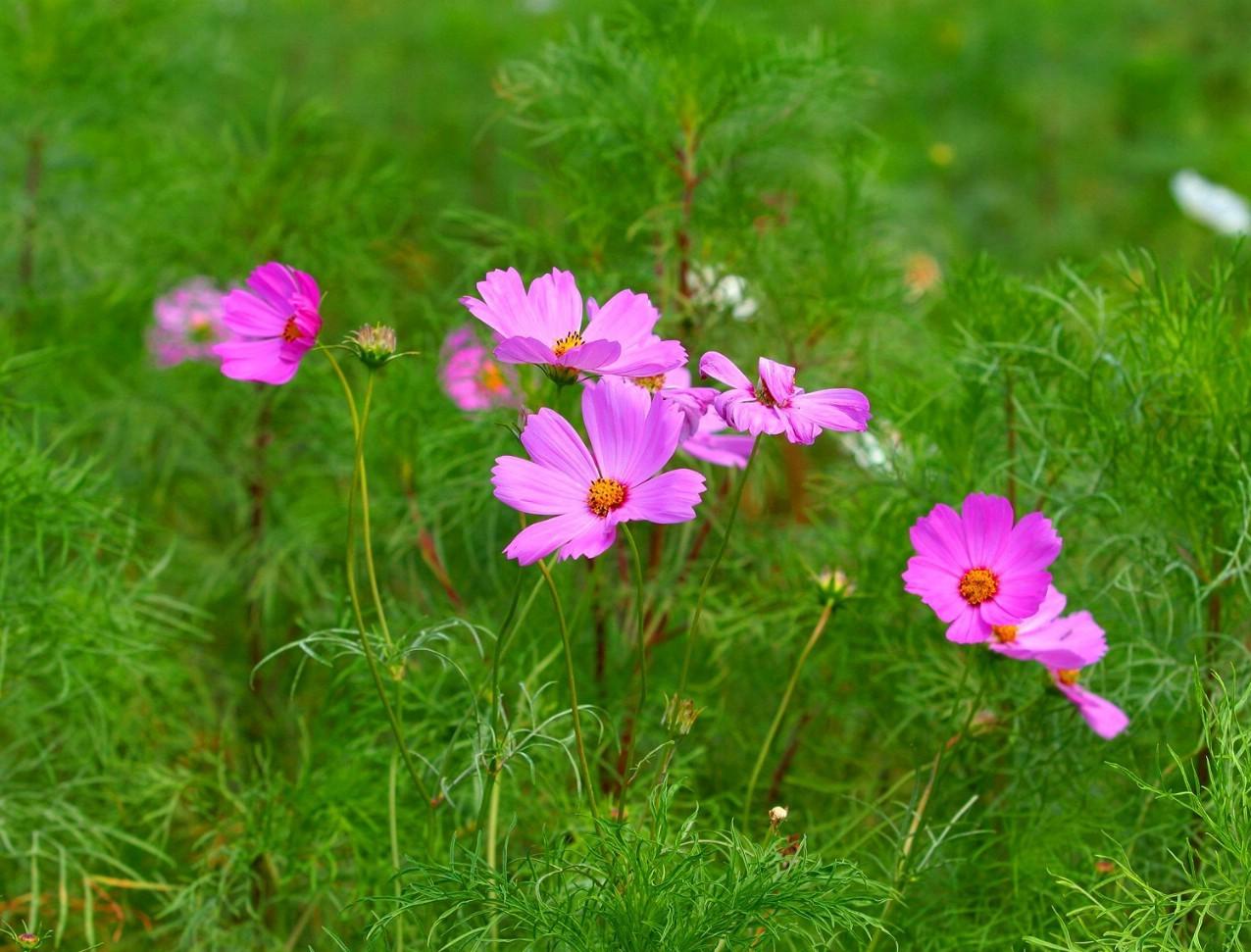 Cosmos bipinnatus seed