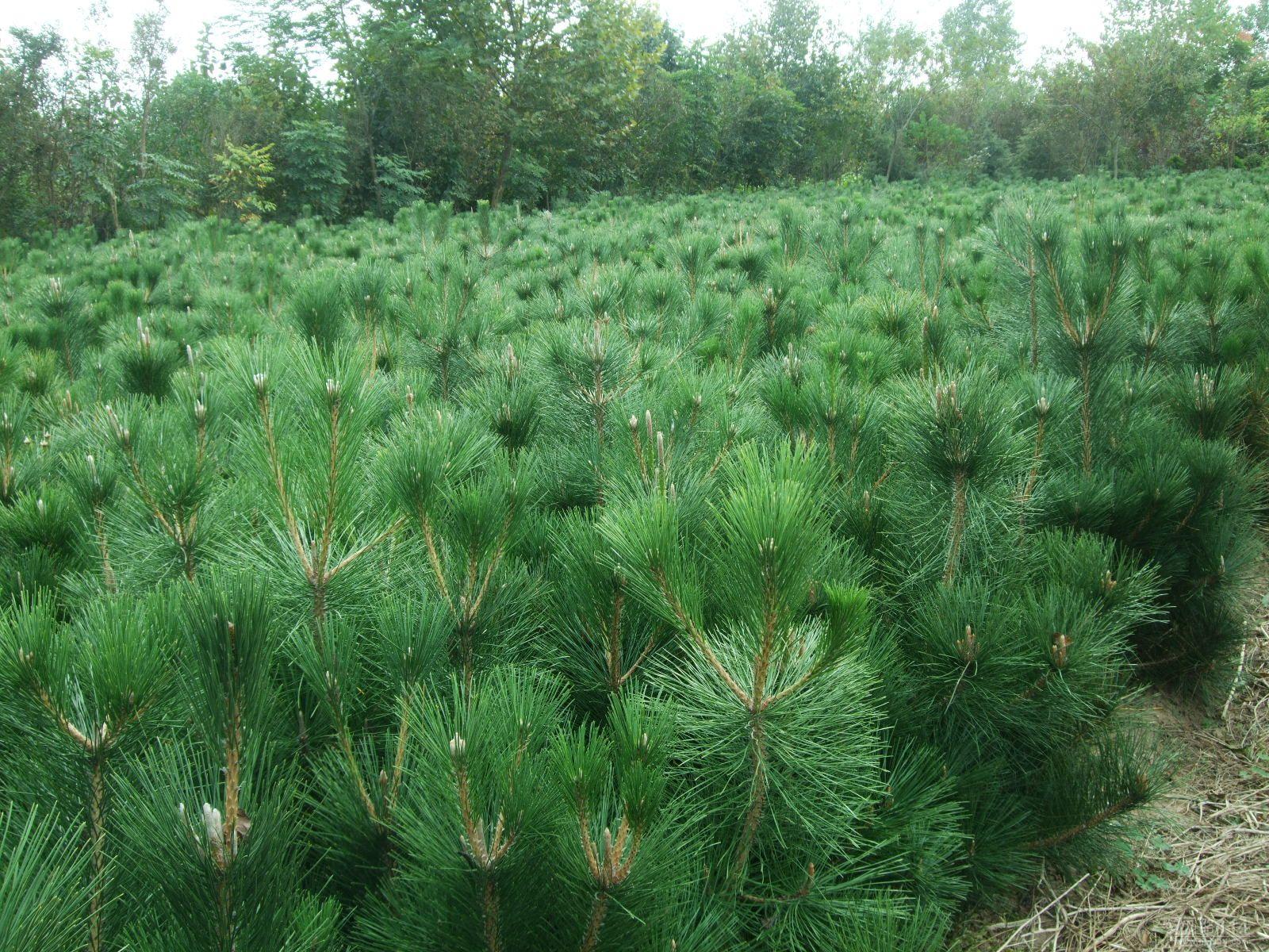 Pinus contorta seed
