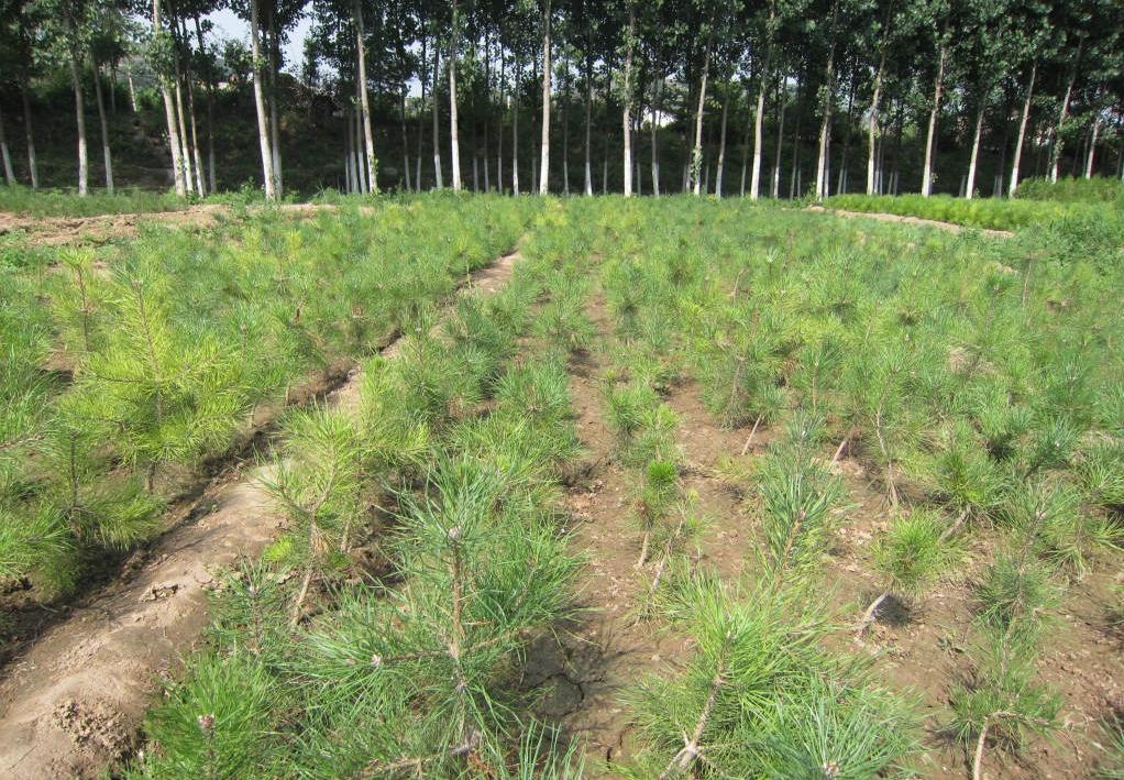 Pinus mugo seed