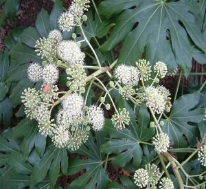 Tetrapanax seed