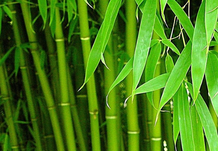 Bambuseae seed