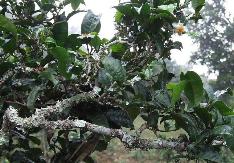 Pu-erh tea seeds