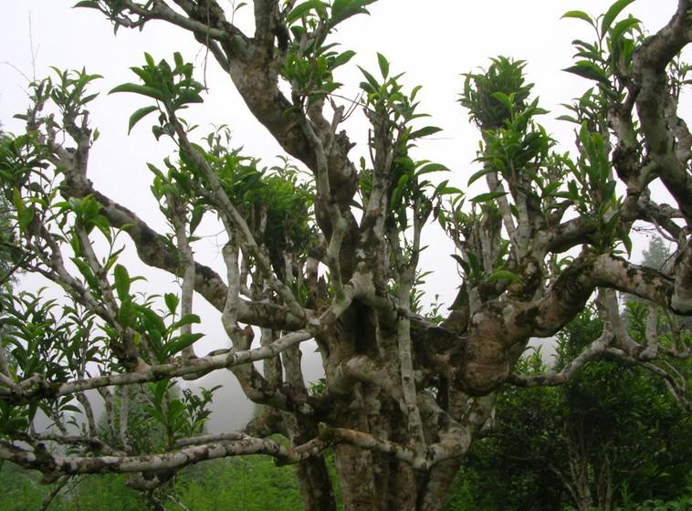 Pu-erh tea tree