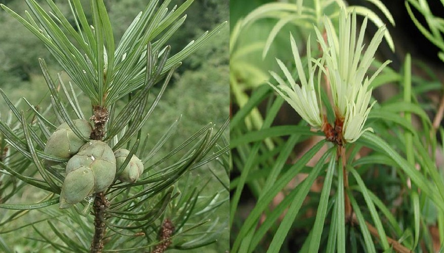 Cathaya argyrophylla seed