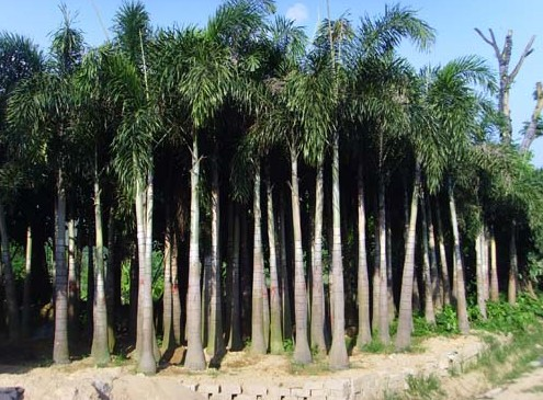 Foxtail Palm seed