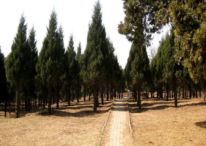 Italian Cypress seed