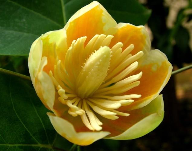 Liriodendron tulipifera seed