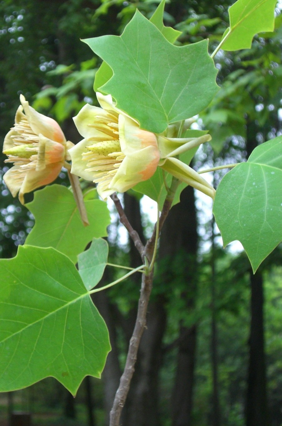 Magnolia family seeds