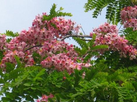 Cassia javanica seed