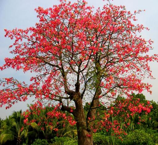 Ceiba speciosa seed