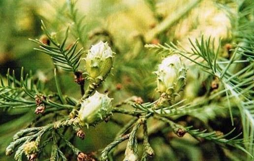 Glyptostrobus pensilis seed