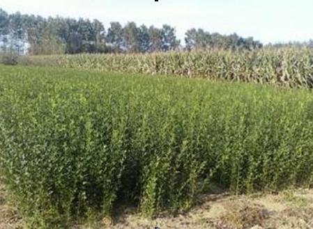 Kaffir lime seed