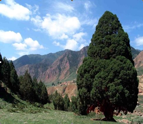 Leyland cypress seed
