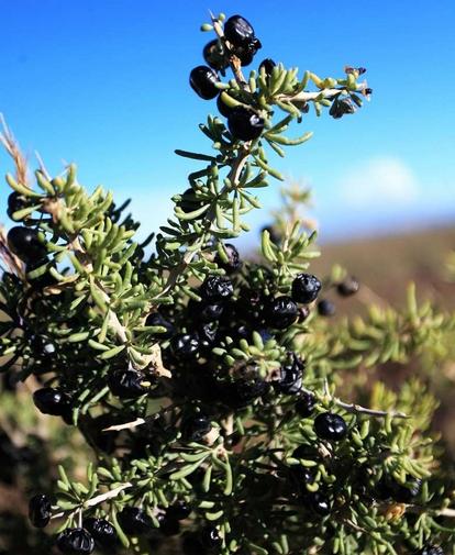 Lycium ruthenicum seed