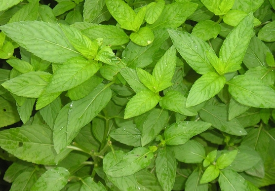 Mentha Longifolia seed
