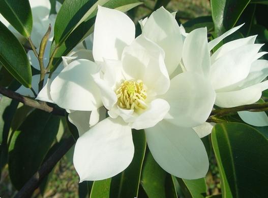 Michelia floribunda seed