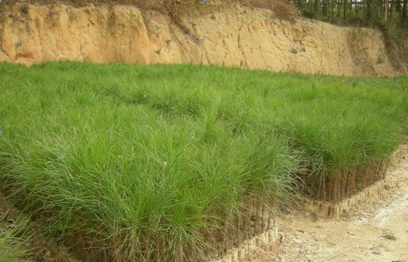 Pinus brutia seed