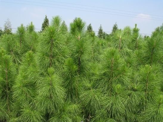 Pinus roxburghii seed