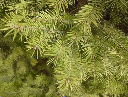 Pseudotsuga sinensis seed