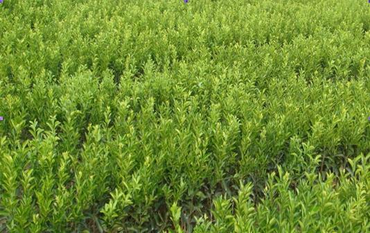 Trifoliate Orange seed