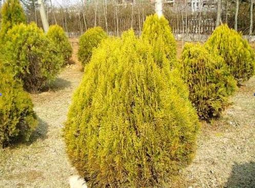 Xanthocyparis vietnamensis seed