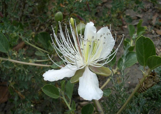Capparis spinosa seed