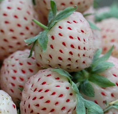 "Strawberry seed ""white"""