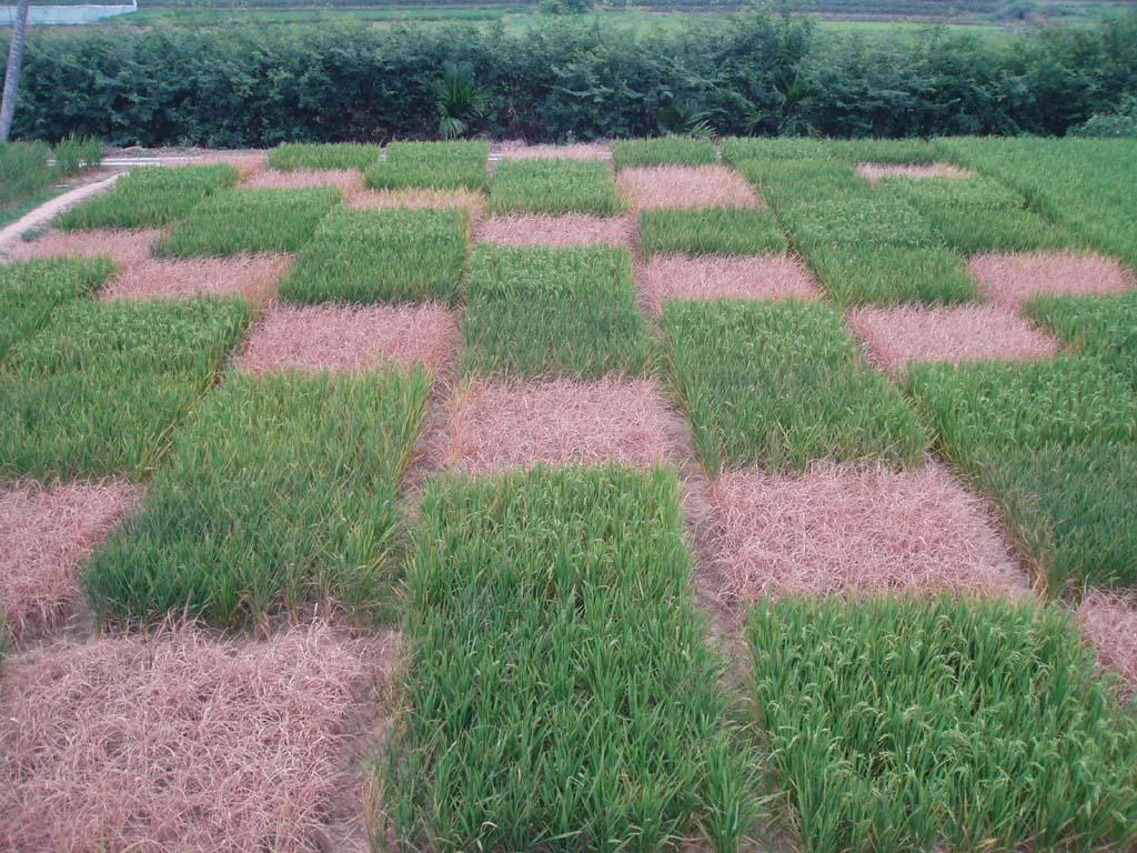 Upland Rice Seeds (Varieties-HD277)