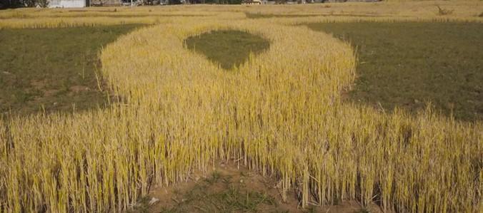 Upland Rice Seeds