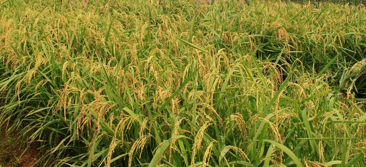 Upland Rice(Varieties-HD297)
