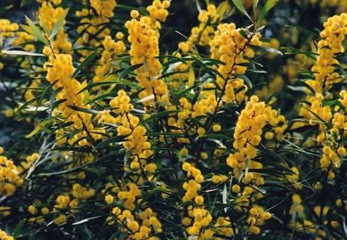 Acacia Saligna seed