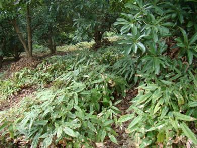 Epimedium brevicornum seed