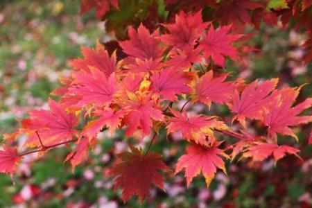 Acer sieboldianum seed
