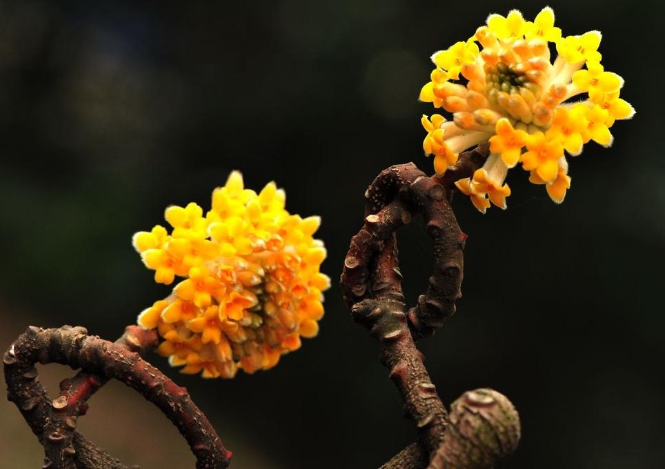 Edgeworthia chrysantha seed