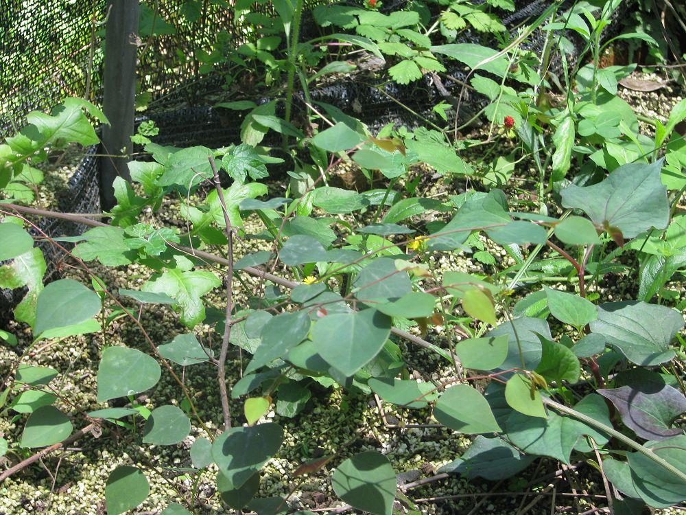 Disanthus cercidifolius seed