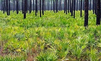 Pygmy Palm seed
