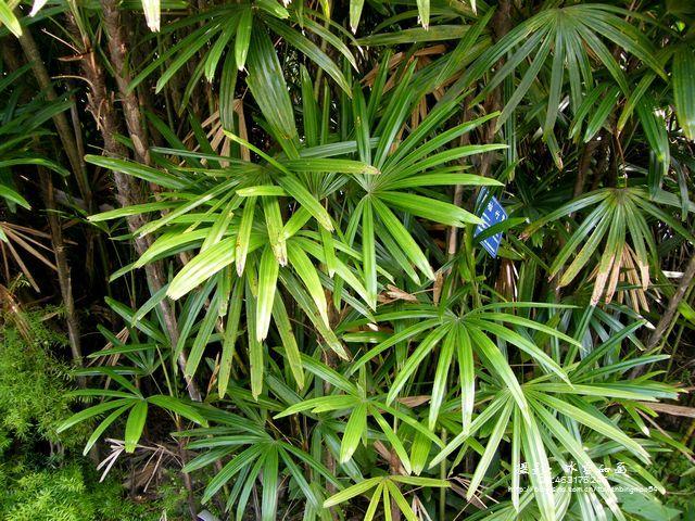 Rhapis gracilis seed