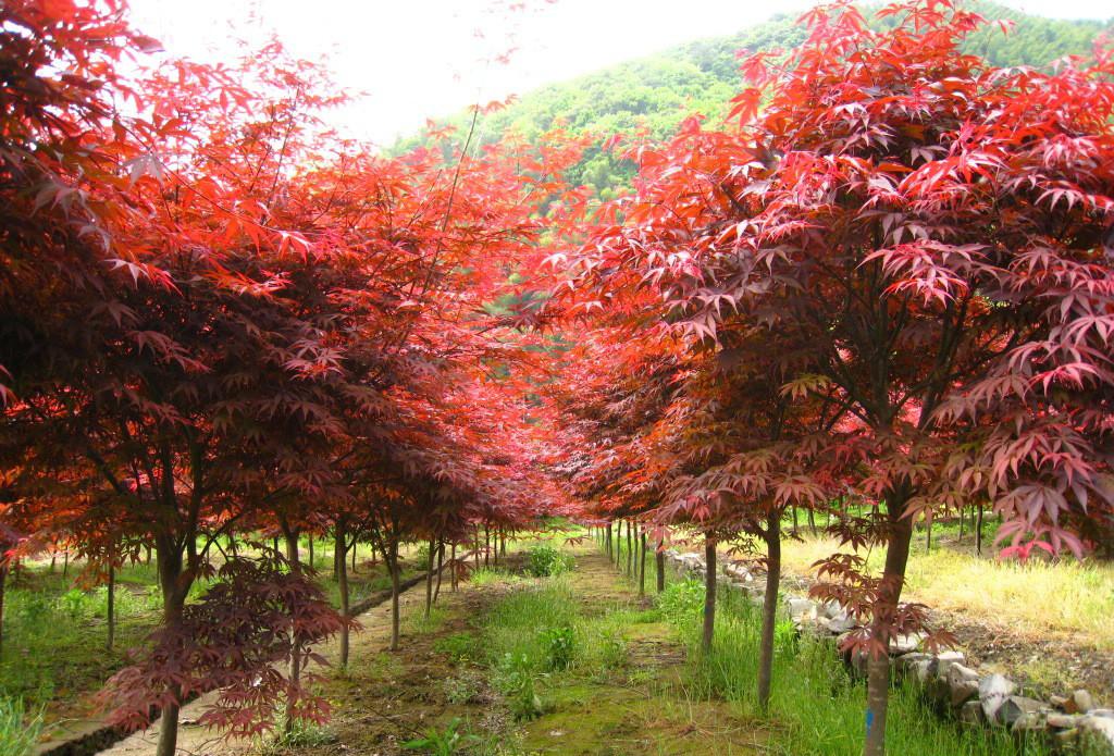 Acer rubrum seed