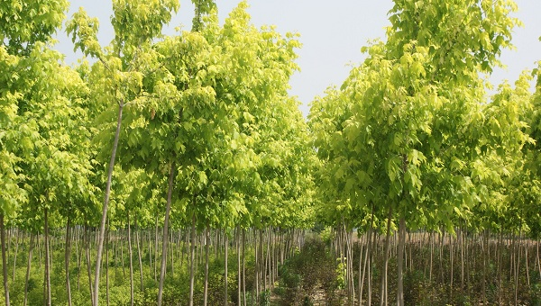 Acer saccharinum seed