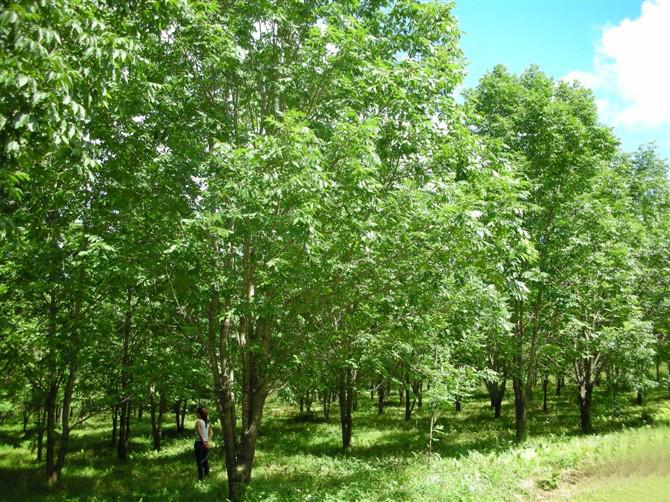 Acer tegmentosum seed