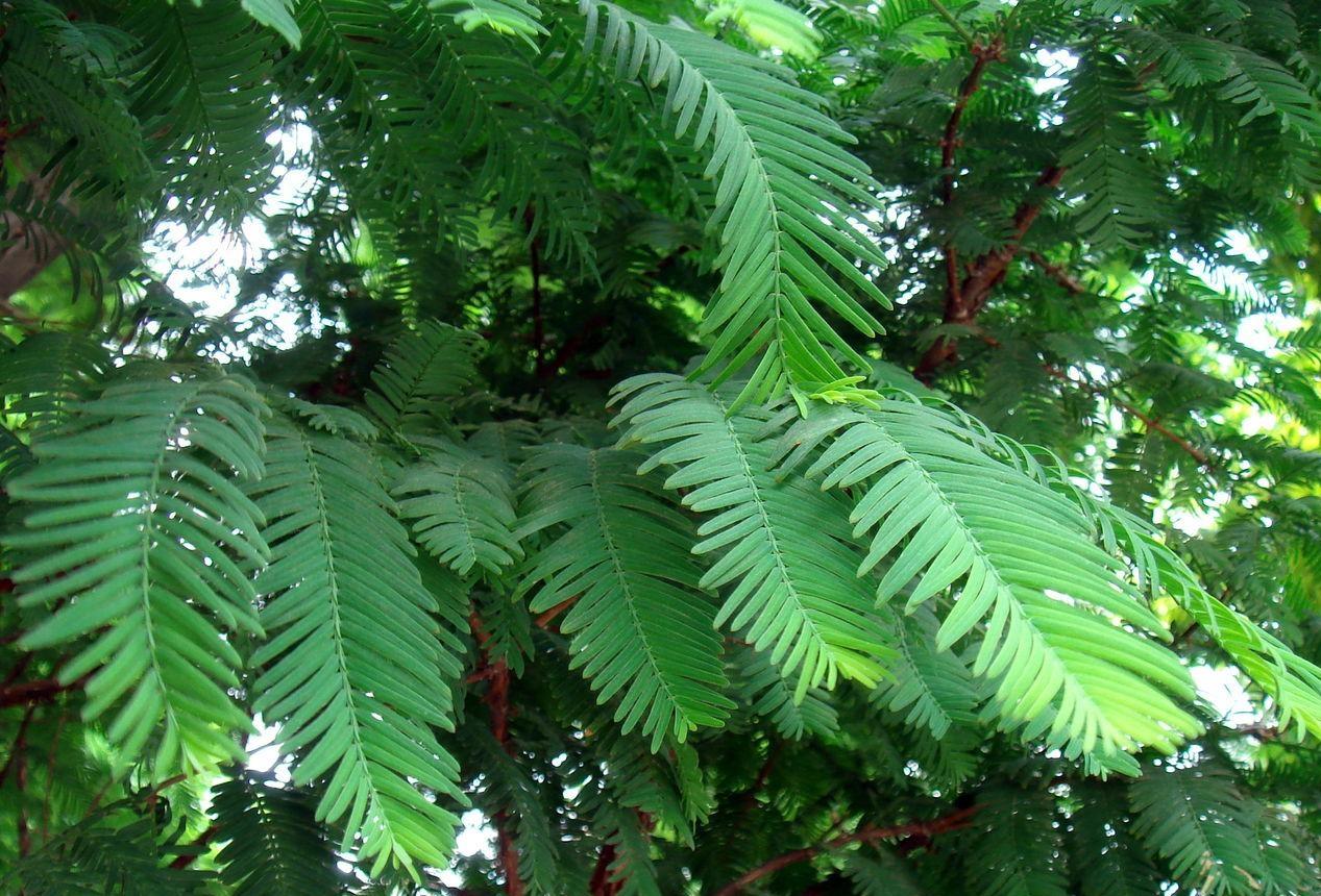 Metasequoia glyptostroboides seed