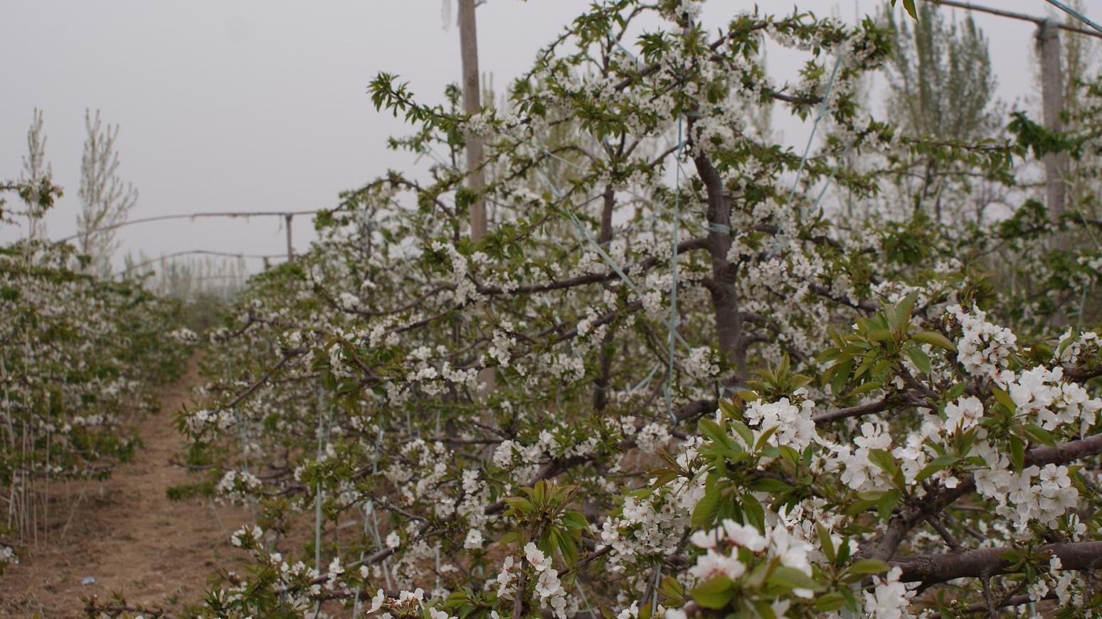 Prunus mahaleb seed