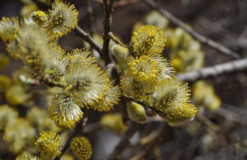 Salix caprea seed