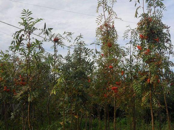 Sorbus domestica seed