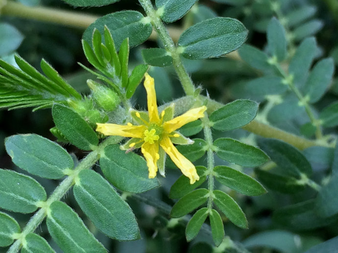 Tribulus terrestris seed