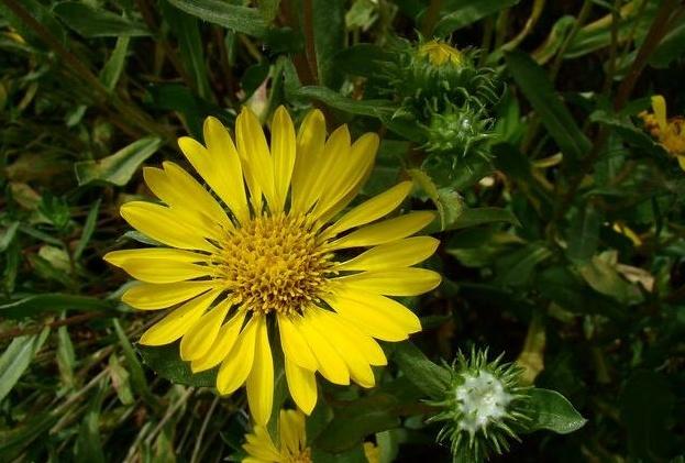 Grindelia camporum seed