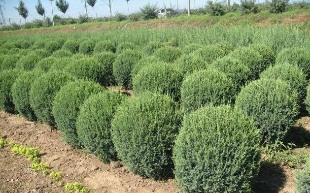 Juniperus Sabina seed