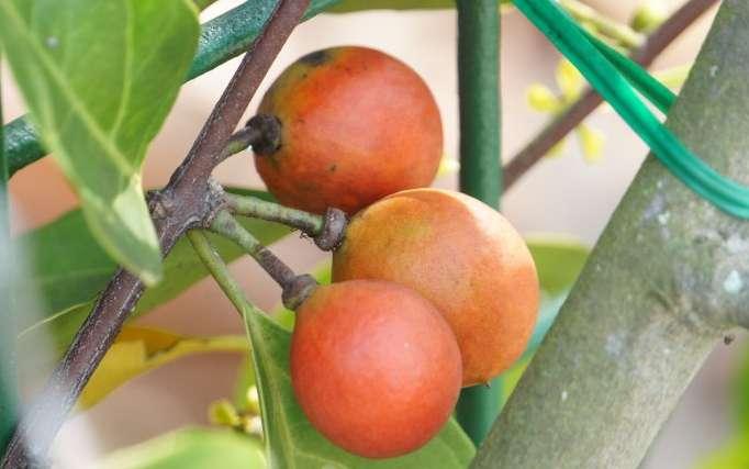 Salacia prinoides seed