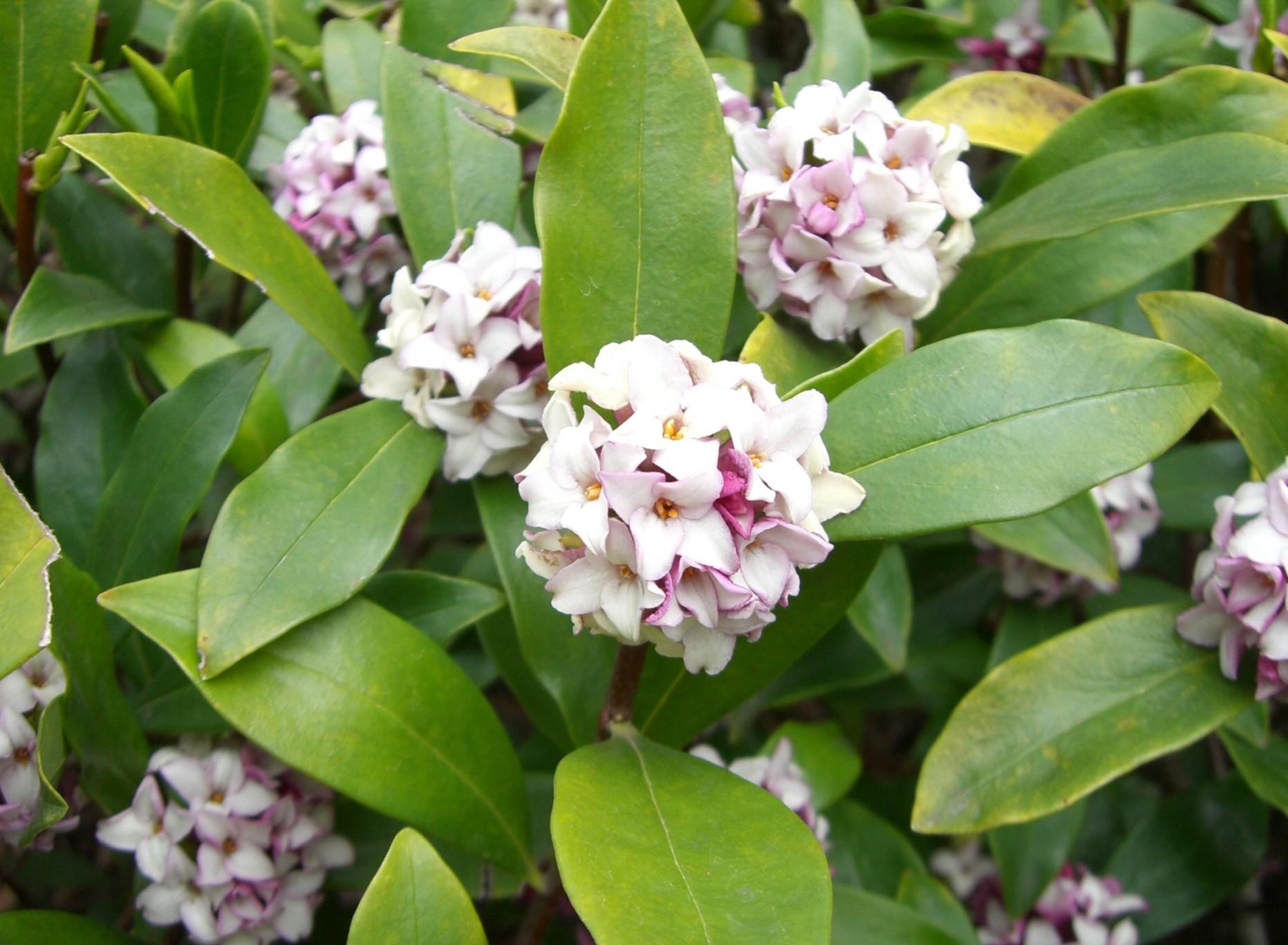 Daphne odora seed