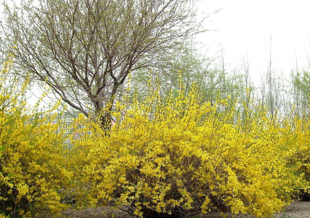Jasminum nudiflorum seed